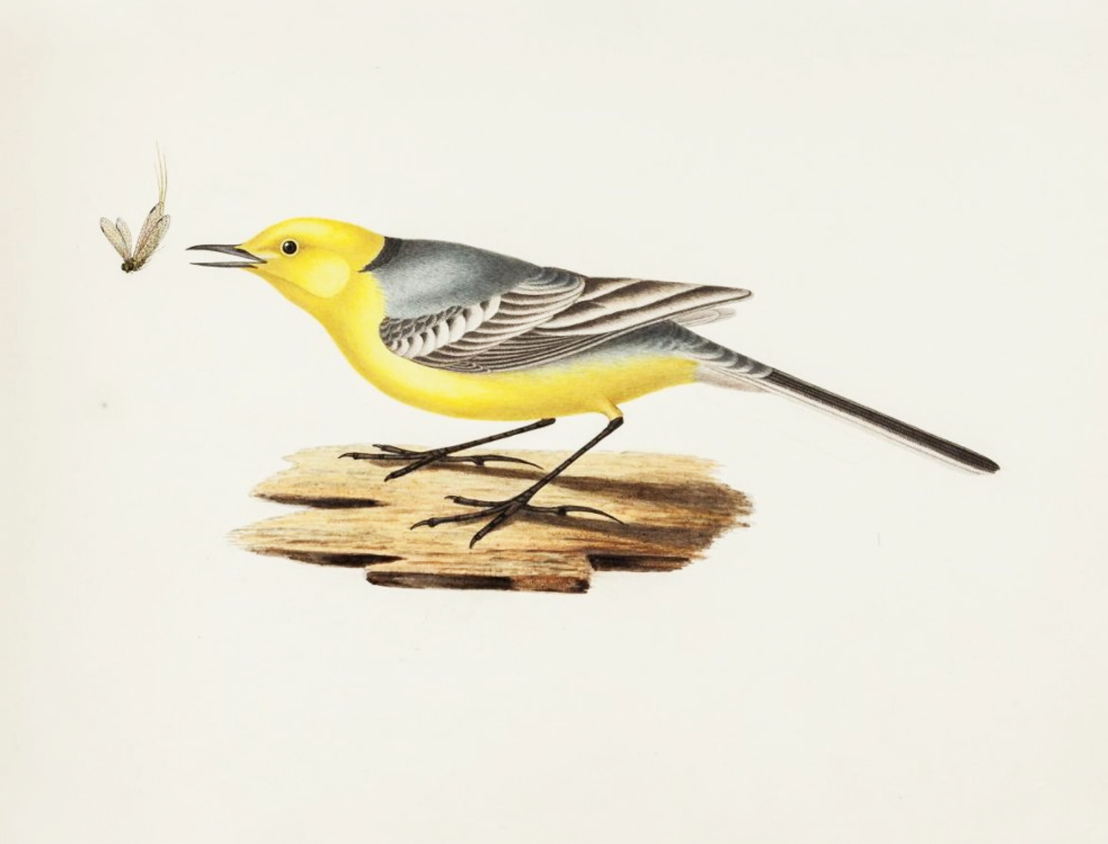 Желтая трясогузка. Лист из альбома «Птички» Борисов П. И. Начало 1840-х гг.